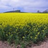 Field of Rape Seed at Glendelvine