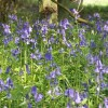 More Bluebells in Kingswood