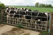 Curious cows at Cross Park