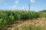 Maize field, Kingford