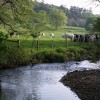 Cattle beside River Lew