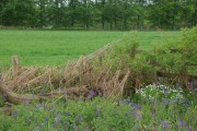 Bluebells and Sudbury Coppice