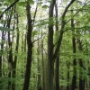 Beech wood, Crombie Country Park.