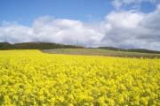 Field of Oilseed rape, looking towards Hill of Finavon.