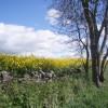 Oilseed rape at the edge of the B9134.