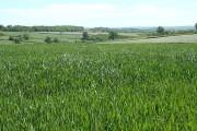 Filleigh: wheat field