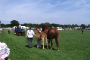 Suffolk Punch and foal