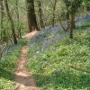 Bluebells in Lower Brienton woods