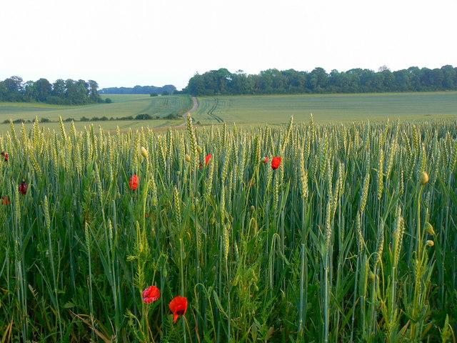 Wheat crop, near Lower End, Gloucestershire