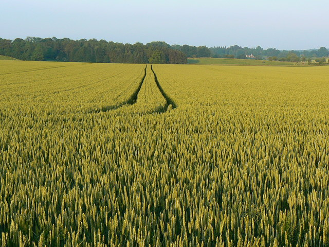 Wheat crop near Lower End, Gloucestershire