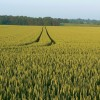 Wheat crop near Lower End, Gloucestershire