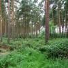 Vertical Conifers