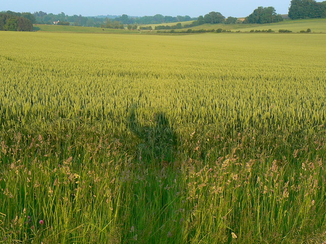 Wheat crop, south of Lower End, Gloucestershire
