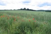 Poppies and oilseed rape