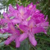 The dreaded Rhododendron.