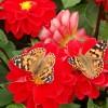 Butterflies in Jubilee Park, Woodhall Spa