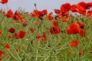 Poppies in Potterspury 2007