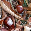 Horse Chestnuts in the Woods at Woodhall Spa