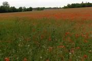 Poppies, Thruxton