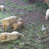 Soft puppies