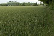 Wheat, Quarley