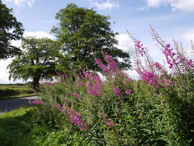 Rosebay Willowherb at Berner's Cross