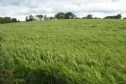 A field of barley
