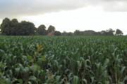 Field of sweet corn