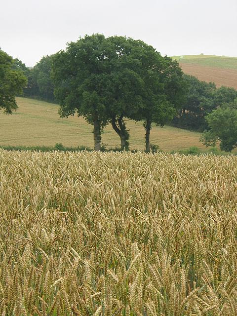 Wheat crop near Withymoor Farm