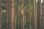 Talbot Woods: tall pines in Pug's Hole
