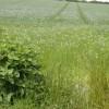 Flax below Garstons Down