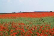 Poppies in a field of rape seed.