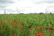 Poppies and sugar beet alongside Hunster Flat Lane