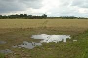 Cornfield at Highfield Lane