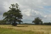 Cornfield near Rossington Hall