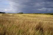 Wheat field at Hale Head
