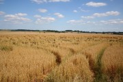 Harrington cornfield