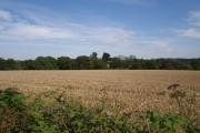 Wheatfield near Worden Farm