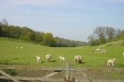 Lambs on Woodland Trust land, Hucking Estate
