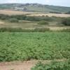 Field of potatoes near Penfeidir