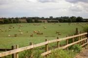 Pedigree Jersey cows grazing after rain.