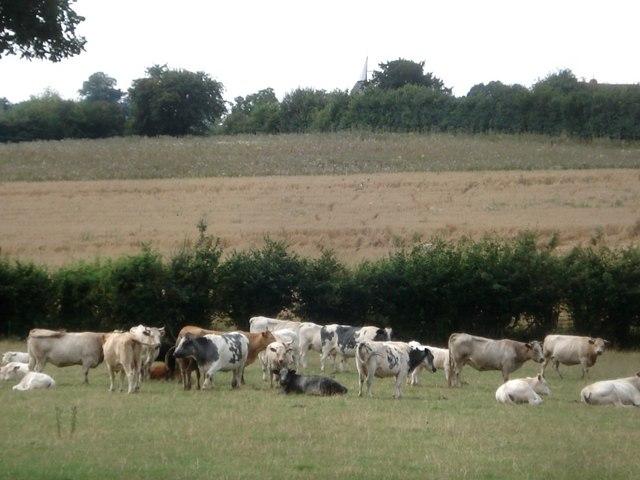 Catley Cattle