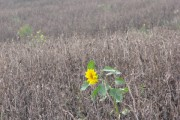 A lonely sunflower in a field of withered beans.