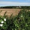 View NE across harvested field to John the Baptist's church, Aylmerton