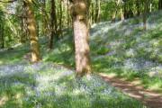 Bluebell wood near Seathwaite