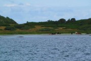 Cattle on the wee beach south of Ardfernal