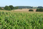 Maize Fields, near Brockton, Shropshire