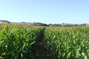 Footpath through the Maize Field, near Brockton, Shropshire