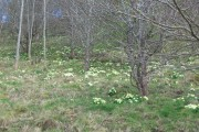 Primroses at Acton Bank
