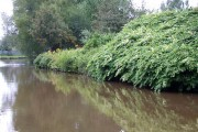 Japanese Knotweed on the Trent and Mersey Canal, Stoke-on-Trent, , Staffordshire